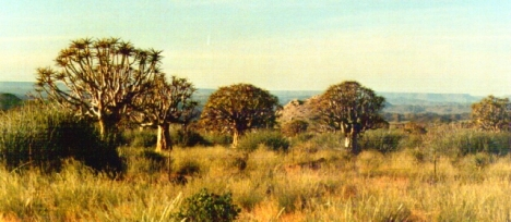 Kokerbome (Quiver trees), found in Northern Cape and southern Namibia