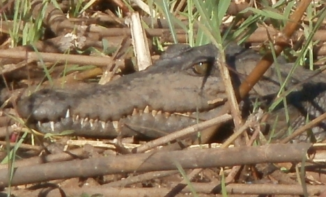 Crocodile on the bank of the Okavango River