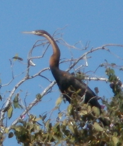 "Darter, sometimes called a ""snake bird"", because its neck looks a bit like a snake"