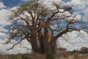 GreenBaobab
