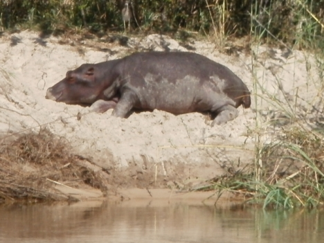 Hippo on the Okavango