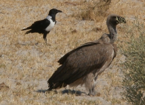 A vulture and a carrion crow