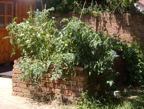 Tomatoes and potatoes going te kere - 6 Feb 2015