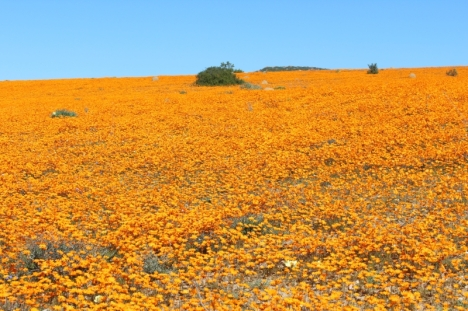 Namaqualand daisies at Skilpad, looking almost fluorescent in the sun