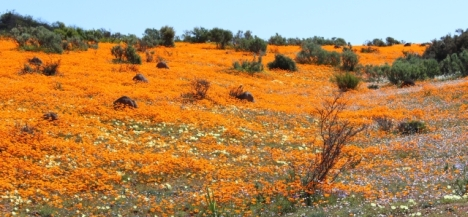More daisies at Skilpad, Namaqualand