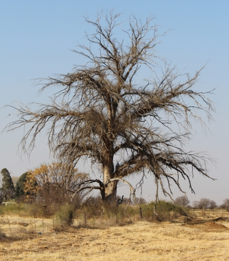 Tree we saw between Ventersdorp & Klerksdorp