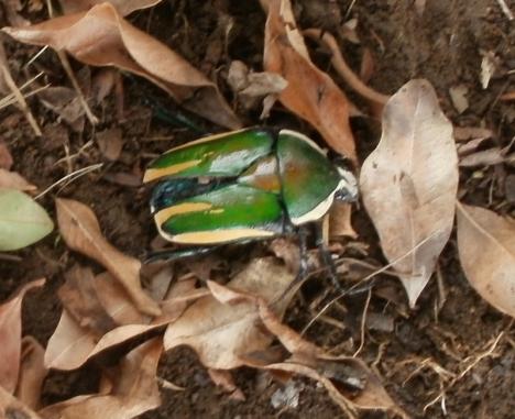 Harassed beetle
