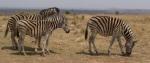 Zebras3